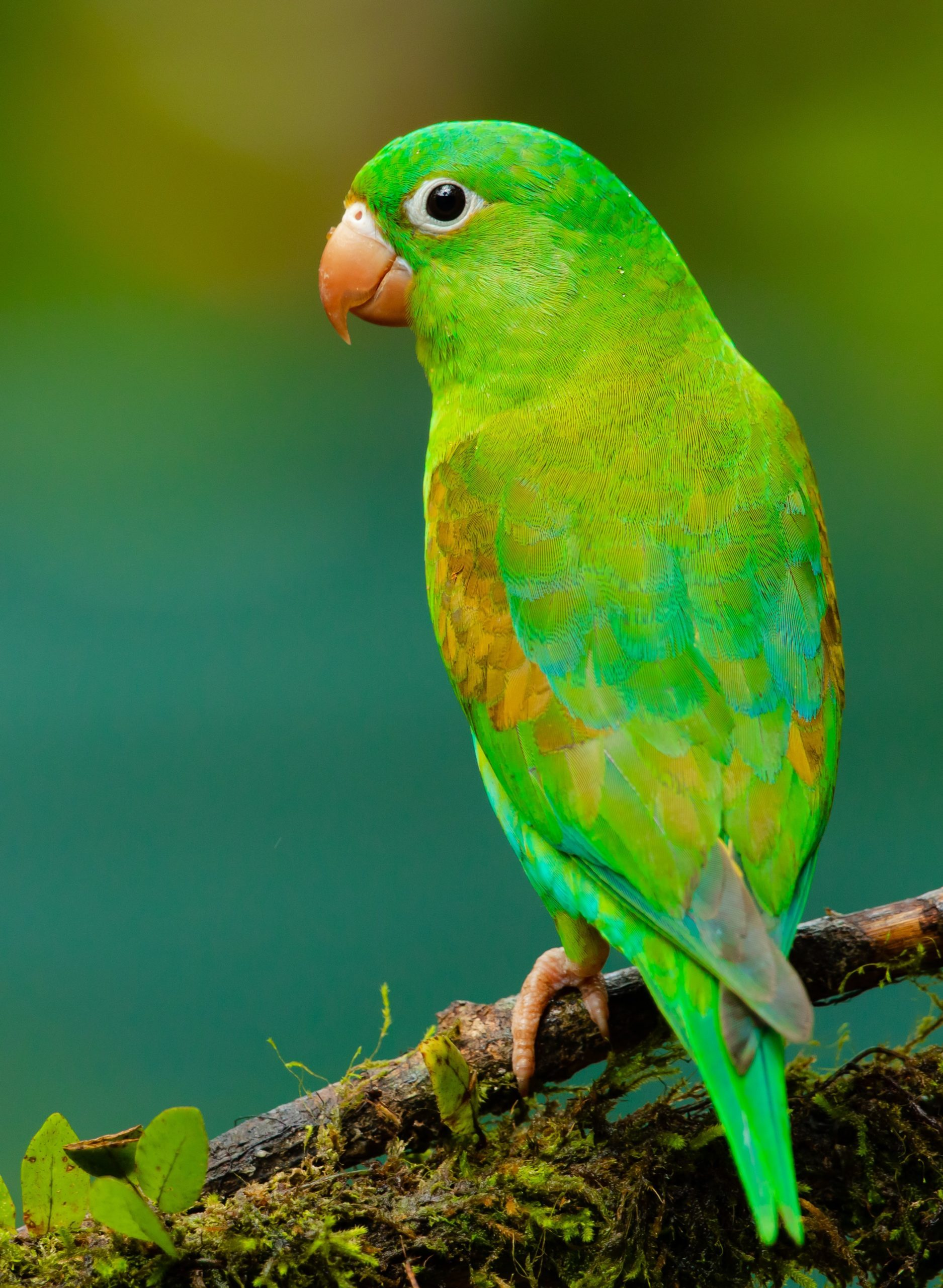 Proud little parrot